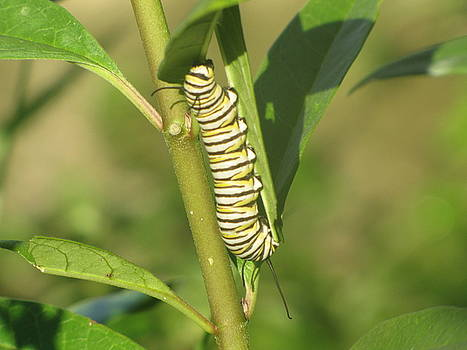 Monarch Caterpillar by Richard Nickson