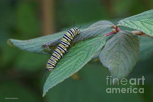 Monarch Caterpillar by Tannis Baldwin