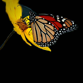 Monarch by David Weeks