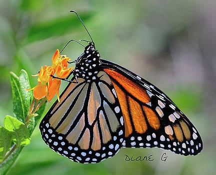 Monarch by Diane Giurco