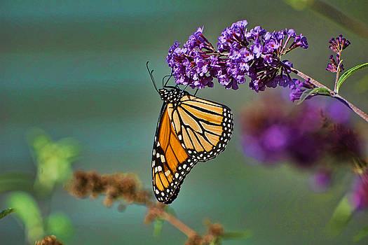Edward Sobuta - Monarch Dream