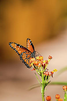 Monarch by Emily Bristor