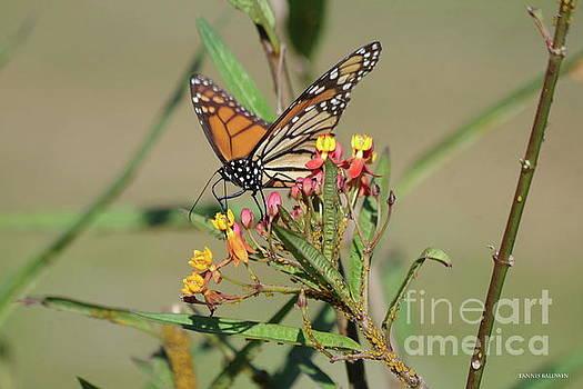 Monarch feeding by Tannis Baldwin
