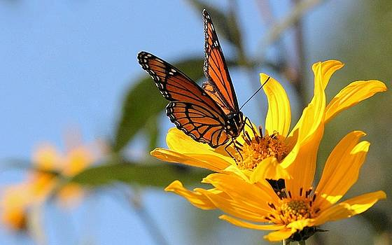 Monarch Golden Moment by Rosanne Jordan