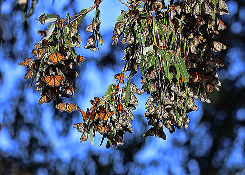 Monarch Groves Butterflies with  Blue Background by Stephanie Laird