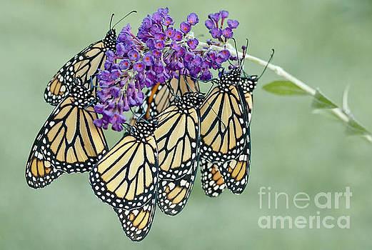 Monarch Huddle by Karen Hofmann