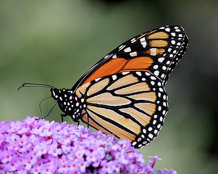 Monarch in profile by Doris Potter
