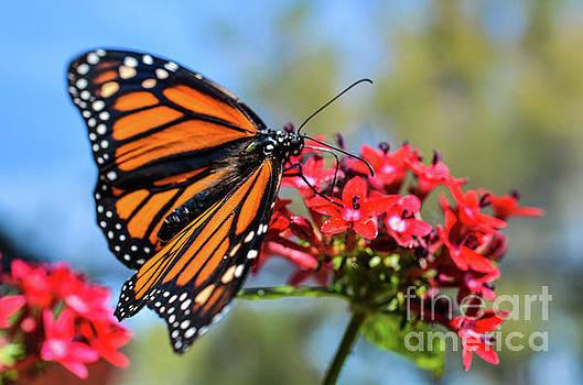 Monarch in the Garden 2 by Lisa Kilby