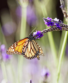 Monarch in the key of purple and green by Ruth Jolly