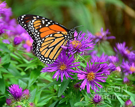 Monarch by Kathy M Krause