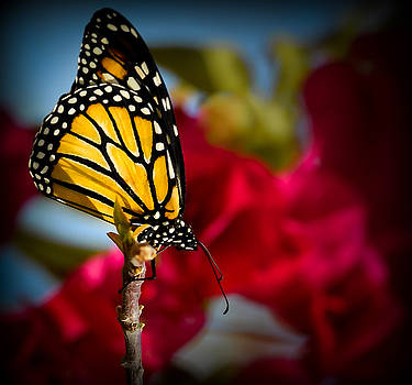 Monarch by Kerry Hauser