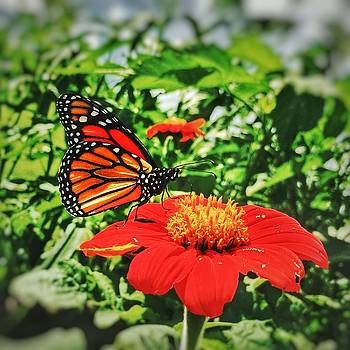 Monarch of the Flowers  by Jame Hayes
