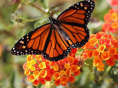 Gary Canant - Monarch on 2 Flowers