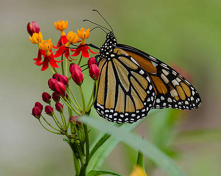 Monarch on Butterfly Weed by Stephanie Maatta Smith
