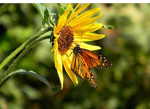 Monarch on Gerber Daisy by Jonathan Androwski