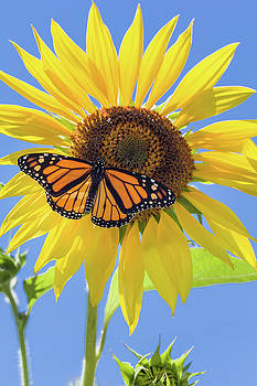 Monarch on Large Sunflower Vertical by Karen Forsyth
