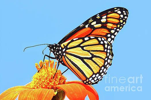 Regina Geoghan - Monarch on Mexican Sunflower