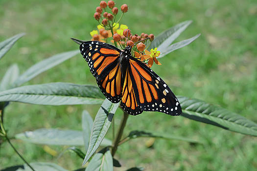 Monarch on Milkweed by Aimee L Maher ALM GALLERY