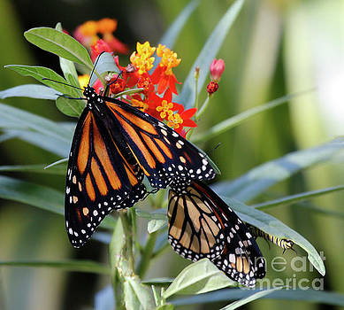 Monarch on Milkweed Flowers by Luana K Perez