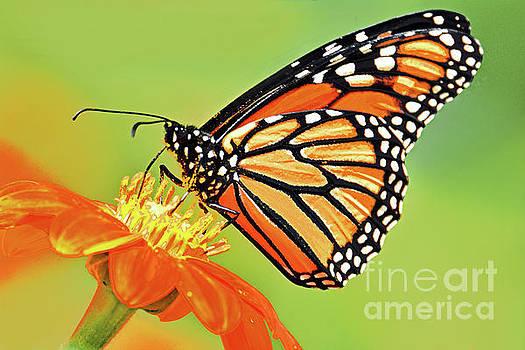 Regina Geoghan -  Monarch on Orange