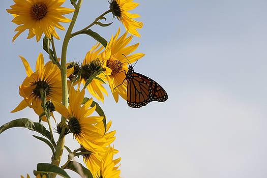 Monarch on Sunflower by Martha Boyle