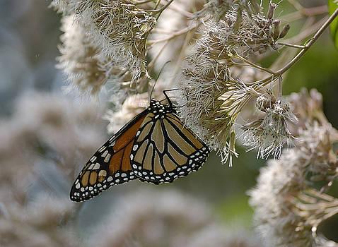 Monarch Pink by Randy Bodkins