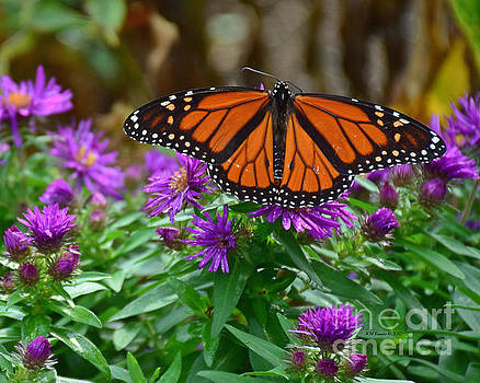 Monarch Spreading Its Wings by Kathy M Krause