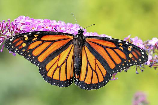 Monarch Sunning by Doris Potter