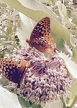 Monarch's on milkweed by Nancy Pace