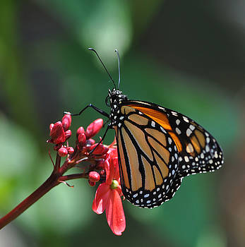 Moncarch Butterfly Delicate Beauty by D Keller