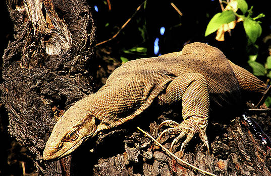 Monitor lizard by Manjot Singh Sachdeva