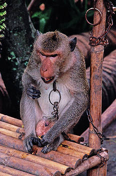 Monkey At Rice Paper Village by Rich Walter
