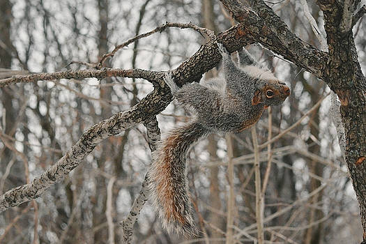 Monkey Gray Squirrel by Asbed Iskedjian