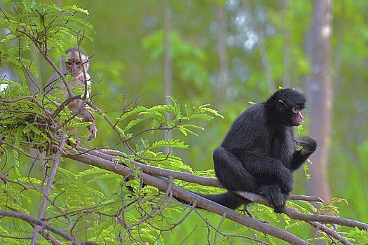 Harvey Barrison - Monkey Island Sactuary Study Number Eight with Black Headed Spider Monkey