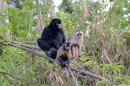 Harvey Barrison - Monkey Island Sactuary Study Number Eleven with Black Headed Spider Monkey