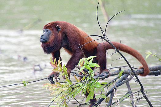 Harvey Barrison - Monkey Island Sactuary Study Number Fifteen with Venezuelan Red Howler