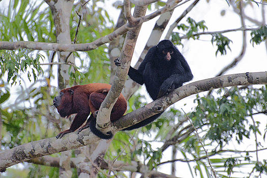 Harvey Barrison - Monkey Island Sactuary Study Number Four with Venezuelan Red Howler and Black Headed Spider Monkey