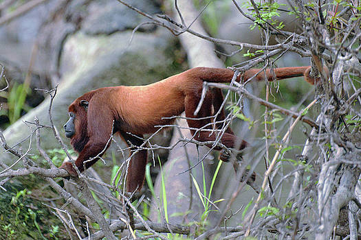 Harvey Barrison - Monkey Island Sactuary Study Number Fourteen with Venezuelan Red Howler