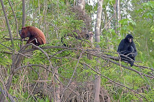 Harvey Barrison - Monkey Island Sactuary Study Number Nine with Venezuelan Red Howler and Black Headed Spider Monkey