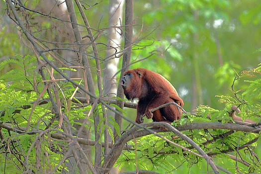 Harvey Barrison - Monkey Island Sactuary Study Number Seven with Venezuelan Red Howler