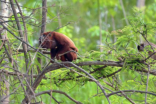 Harvey Barrison - Monkey Island Sactuary Study Number Six with Venezuelan Red Howler
