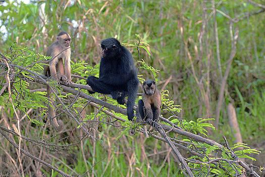 Harvey Barrison - Monkey Island Sactuary Study Number Ten with Black Headed Spider Monkey
