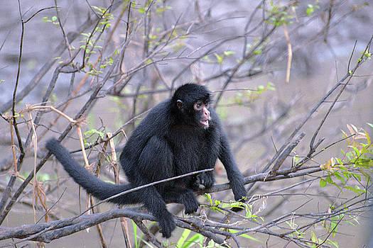 Harvey Barrison - Monkey Island Sactuary Study Number Thirteen with Black Headed Spider Monkey