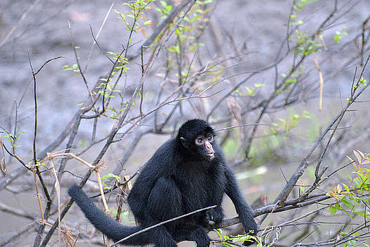 Harvey Barrison - Monkey Island Sactuary Study Number Twelve with Black Headed Spider Monkey