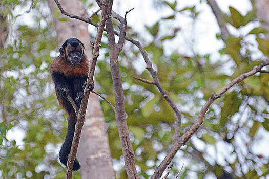Harvey Barrison - Monkey Island Sactuary Study Number Two with Tufted or Brown Capuchin