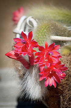 Monkey's Tail Cactus Flower by Catherine Lau