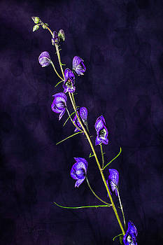 Monkshood Version 2 by Fred Denner