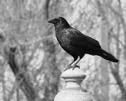 Monochrome Crow On Ornate Stone by Gothicrow Images