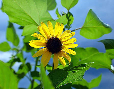 Monsoon Sunflower by Heather S Huston