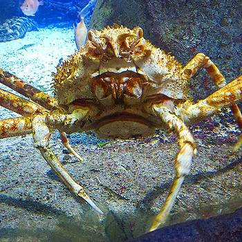 Monster Japanese Crab A Metre Across! by Dante Harker